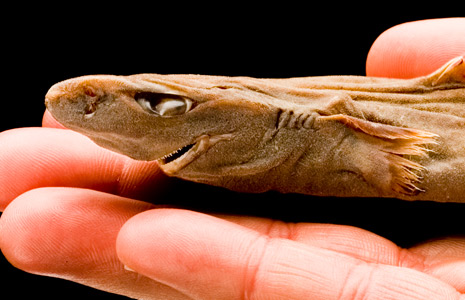 The tiniest shark, a Dwarf Lantern Shark, is smaller than a human hand.