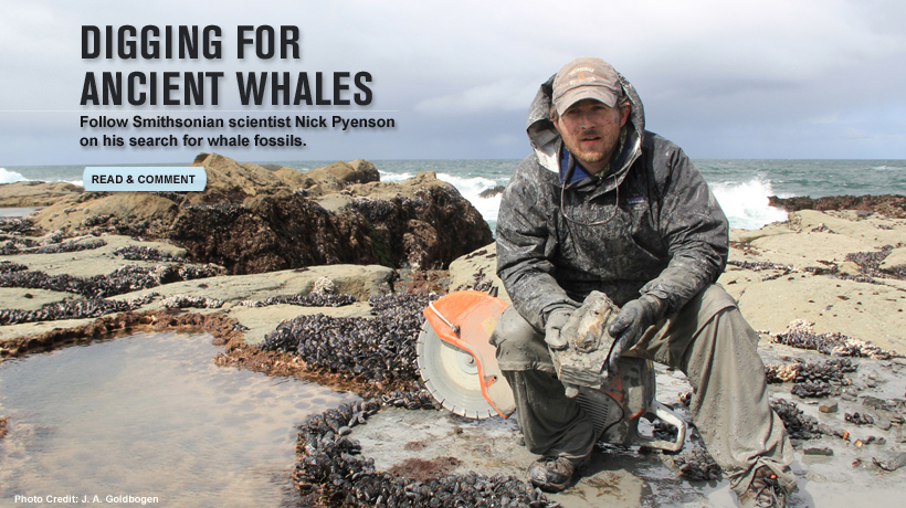 Nick Pyenson excavating toothed whale fossils