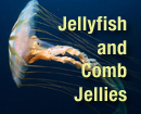 Jellyfish and Comb Jellies