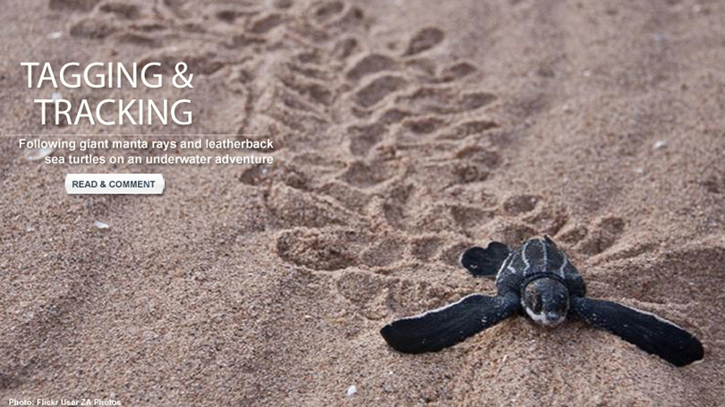 A young leatherback turtle moves across the sand.