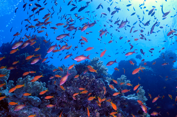 Sea bass flock to a tropical coral reef in the Red Sea.<div class='credit'><strong>Credit:</strong> Sea bass flock to a tropical coral reef in the Red Sea.</div>