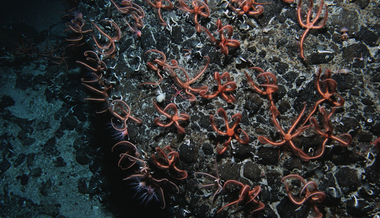 On a seamount peak, a huge colony of brittlestars (likely Ophiacantha rosea) feeds on passing particles.<div class='credit'><strong>Credit:</strong> On a seamount peak, a huge colony of brittlestars (likely Ophiacantha rosea) feeds on passing particles.</div>