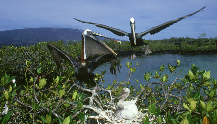 Brown pelicans (Pelecanus occidentalis) nest in a mangrove in Ecuador's Galapagos Islands.<div class='credit'><strong>Credit:</strong> Brown pelicans (Pelecanus occidentalis) nest in a mangrove in Ecuador's Galapagos Islands.</div>