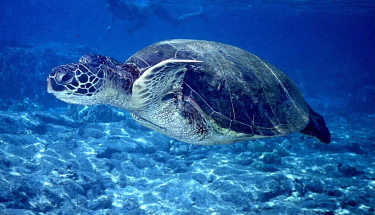 Sea Turtle<div class='credit'><strong>Credit:</strong> Sea Turtle</div>