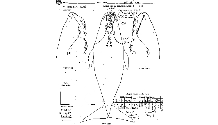 A drawing of Phoenix from the North Atlantic Right Whale Catalog documents her callosity pattern and other identifying marks.<div class='credit'><strong>Credit:</strong> A drawing of Phoenix from the North Atlantic Right Whale Catalog documents her callosity pattern and other identifying marks.</div>