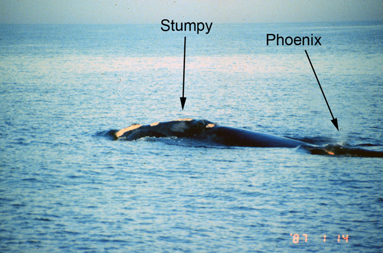 January 14, 1987: Phoenix is first spotted as she swims with her mother, Stumpy, off the coast of Georgia.<div class='credit'><strong>Credit:</strong> January 14, 1987: Phoenix is first spotted as she swims with her mother, Stumpy, off the coast of Georgia.</div>