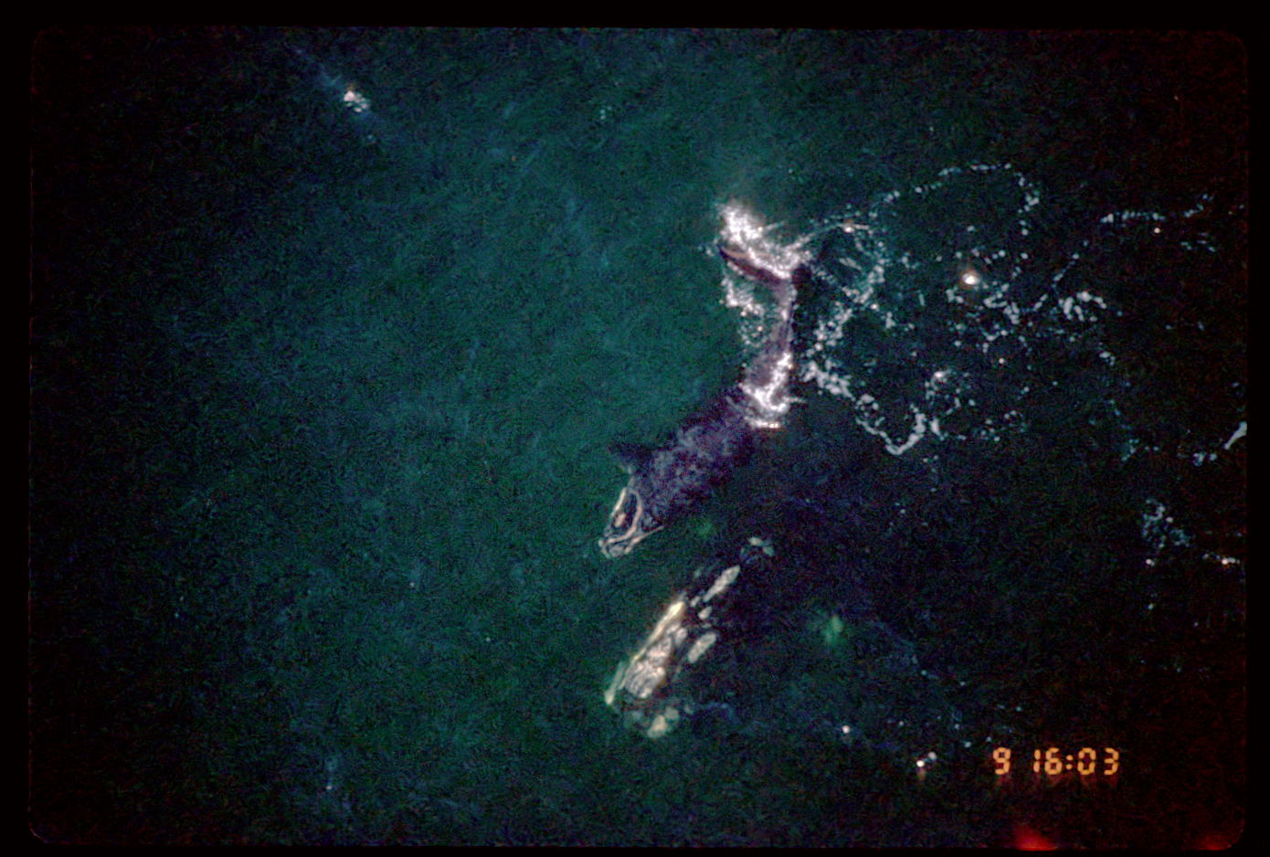 In 1996, at age nine, Phoenix has her first calf (North Atlantic right whale #2605) off the southeast coast of Florida.<div class='credit'><strong>Credit:</strong> In 1996, at age nine, Phoenix has her first calf (North Atlantic right whale #2605) off the southeast coast of Florida.</div>