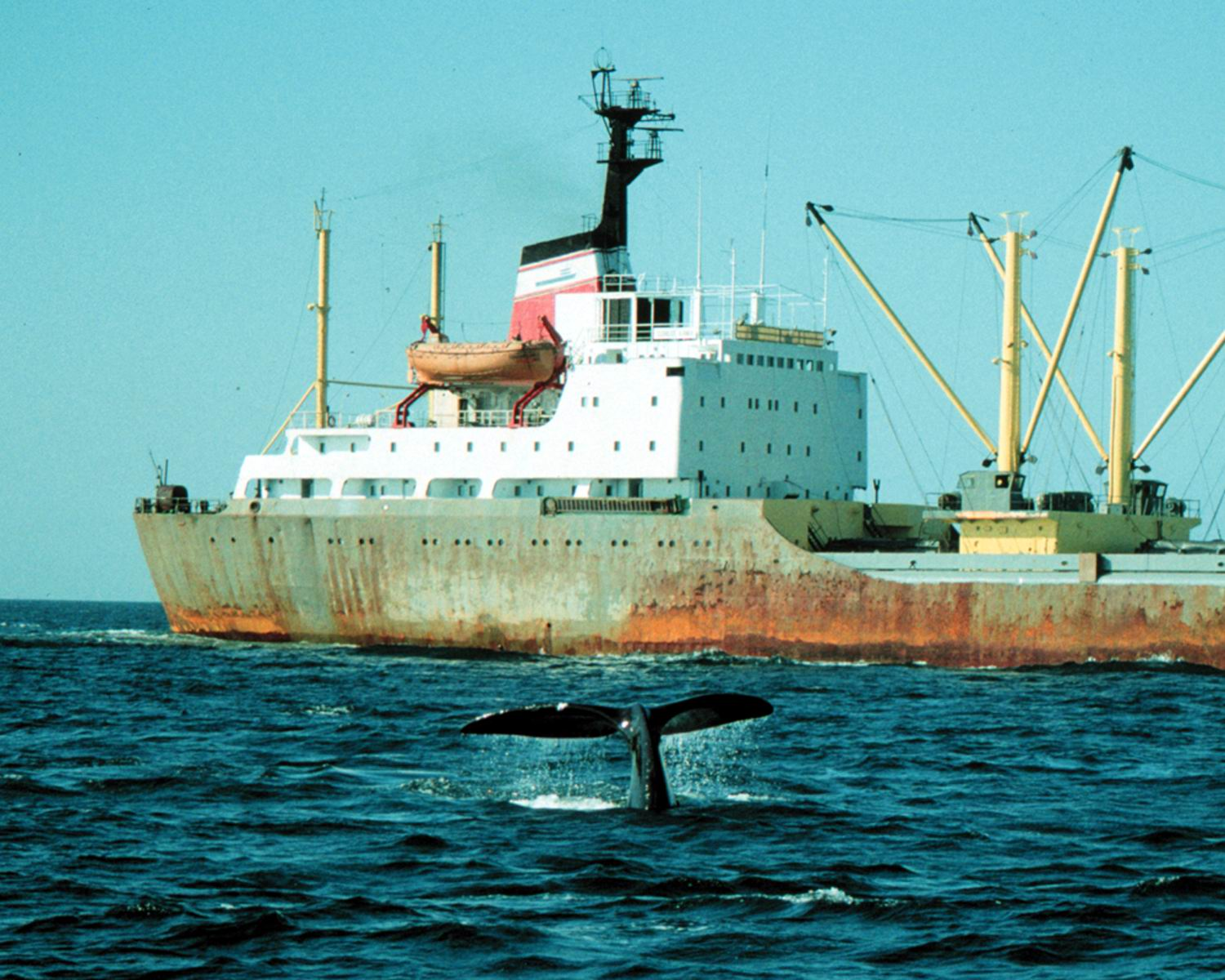 North Atlantic right whales and ocean-going vessels often cross paths.<div class='credit'><strong>Credit:</strong> North Atlantic right whales and ocean-going vessels often cross paths.</div>