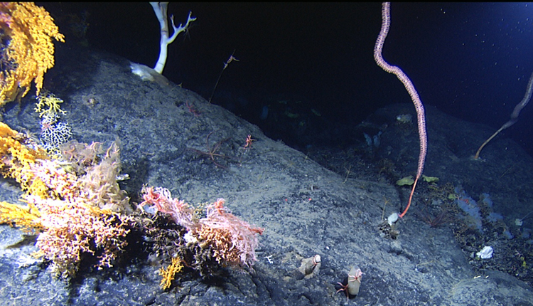 A variety of corals cling to Manning Seamount, just off the coast of Cape Cod, Massachusetts.<div class='credit'><strong>Credit:</strong> A variety of corals cling to Manning Seamount, just off the coast of Cape Cod, Massachusetts.</div>