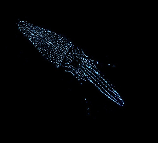 A photo of a squid using bioluminescence to hide in the deep sea. <div class='credit'><strong>Credit:</strong> A photo of a squid using bioluminescence to hide in the deep sea. </div>