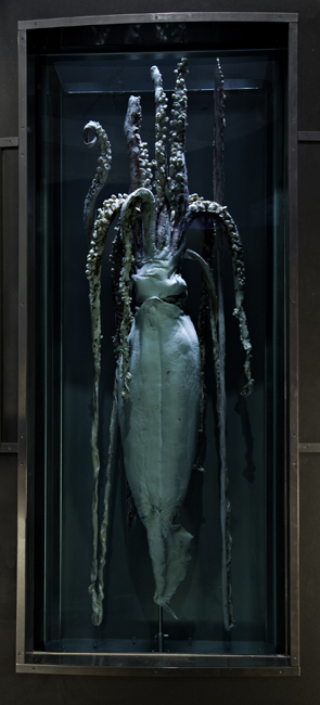 This male giant squid is on display at the Smithsonian's National Museum of Natural History.<div class='credit'><strong>Credit:</strong> This male giant squid is on display at the Smithsonian's National Museum of Natural History.</div>