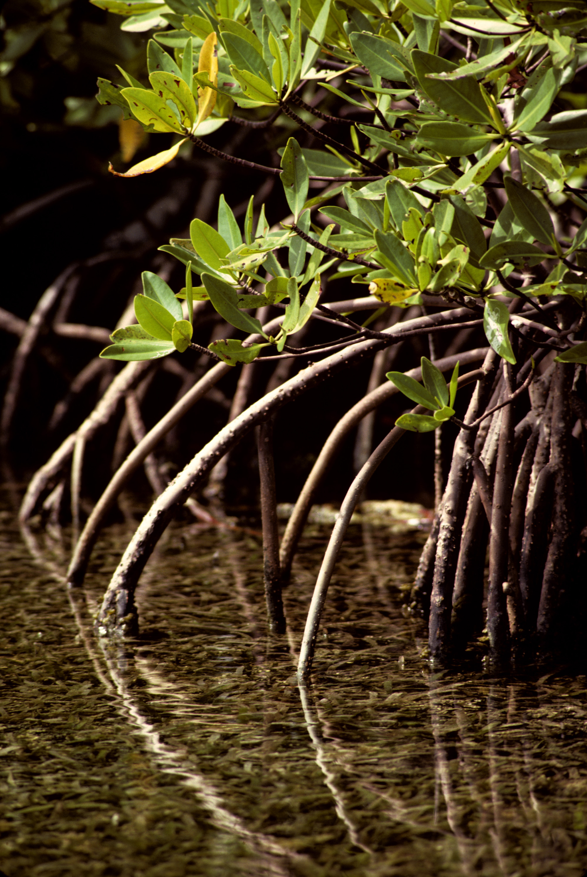Arching mangrove roots help keep trunks upright in soft sediments at water's edge.<div class='credit'><strong>Credit:</strong> Arching mangrove roots help keep trunks upright in soft sediments at water's edge.</div>