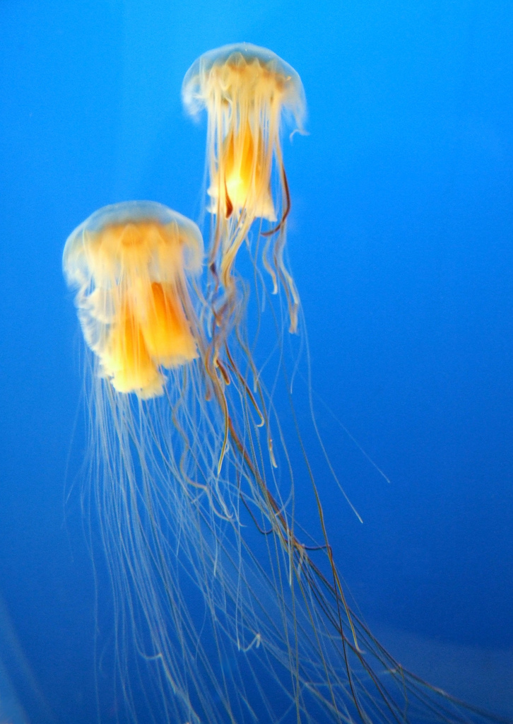 Two of the worlds largest jellyfish, the lions mane jellyfish, float together. <div class='credit'><strong>Credit:</strong> Two of the worlds largest jellyfish, the lions mane jellyfish, float together. </div>