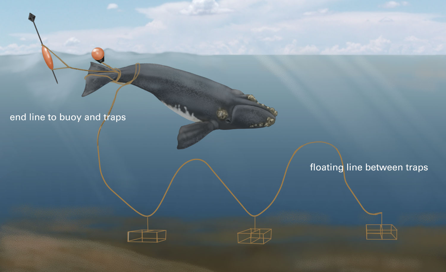 This illustration shows how fishing lines attached to traps and buoys on the ocean floor present a potentially deadly hazard to North Atlantic right whales.<div class='credit'><strong>Credit:</strong> This illustration shows how fishing lines attached to traps and buoys on the ocean floor present a potentially deadly hazard to North Atlantic right whales.</div>
