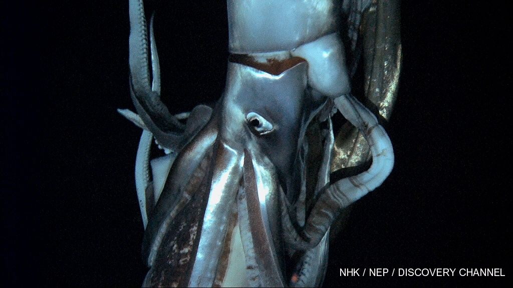 The elusive giant squid<div class='credit'><strong>Credit:</strong> The elusive giant squid</div>
