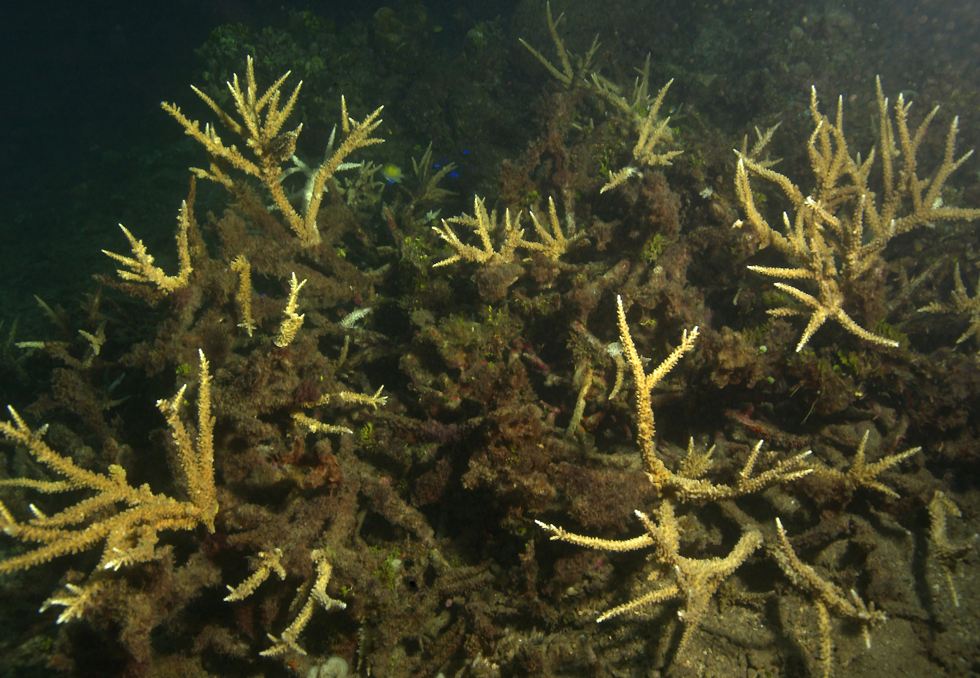 These corals are dead—smothered in sediments and overgrown with algae.<div class='credit'><strong>Credit:</strong> These corals are dead—smothered in sediments and overgrown with algae.</div>