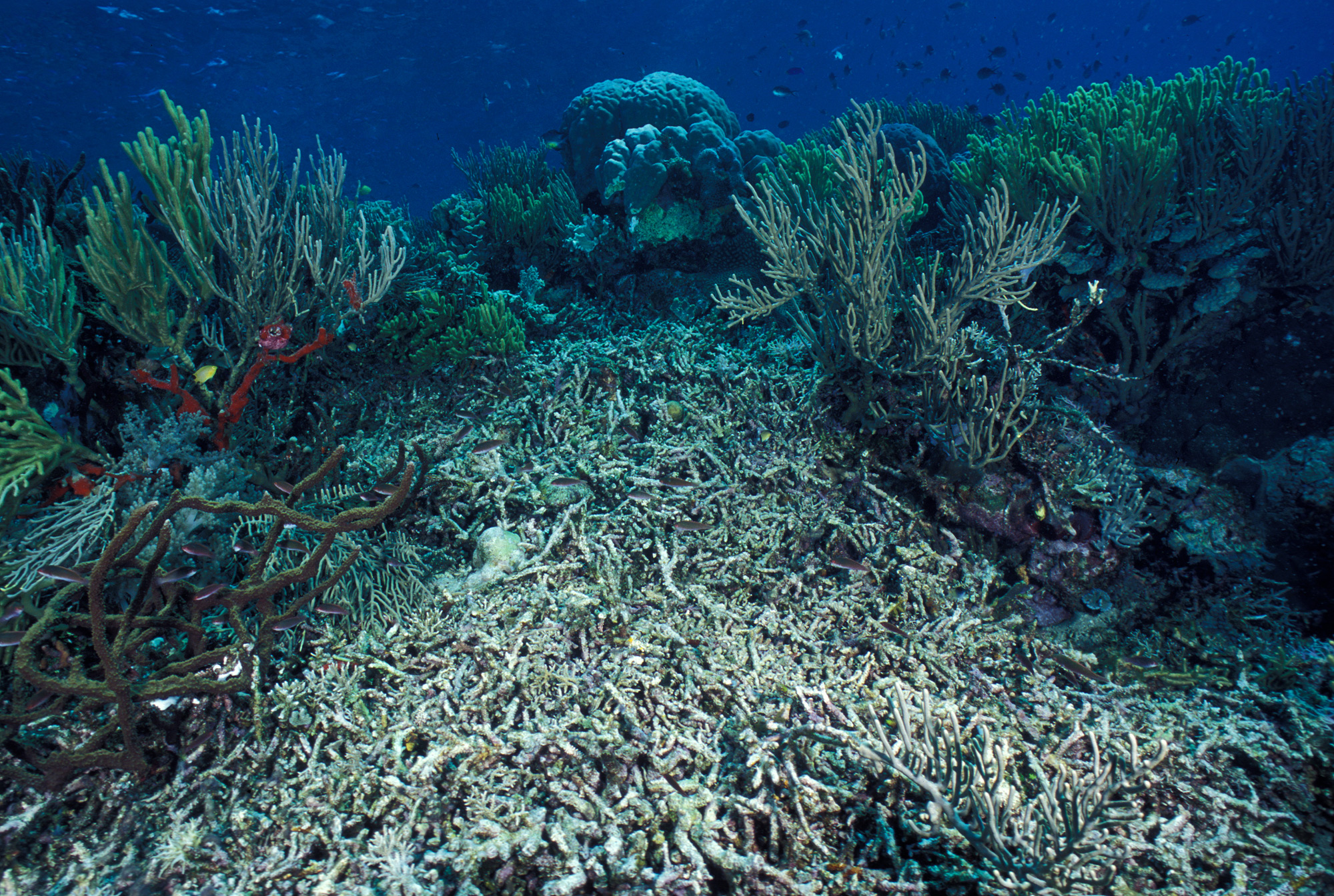 A coral reef covered by silt and sand in the Western Pacific Ocean.<div class='credit'><strong>Credit:</strong> A coral reef covered by silt and sand in the Western Pacific Ocean.</div>
