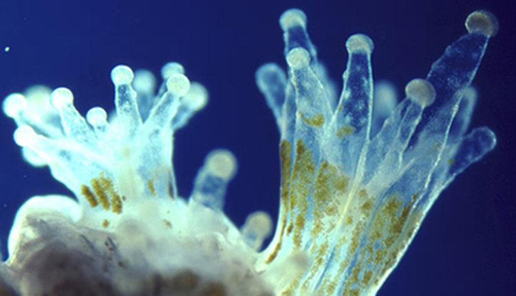 Close-up photograph of translucent coral polyps, showing the symbiotic algae living inside.<div class='credit'><strong>Credit:</strong> Close-up photograph of translucent coral polyps, showing the symbiotic algae living inside.</div>