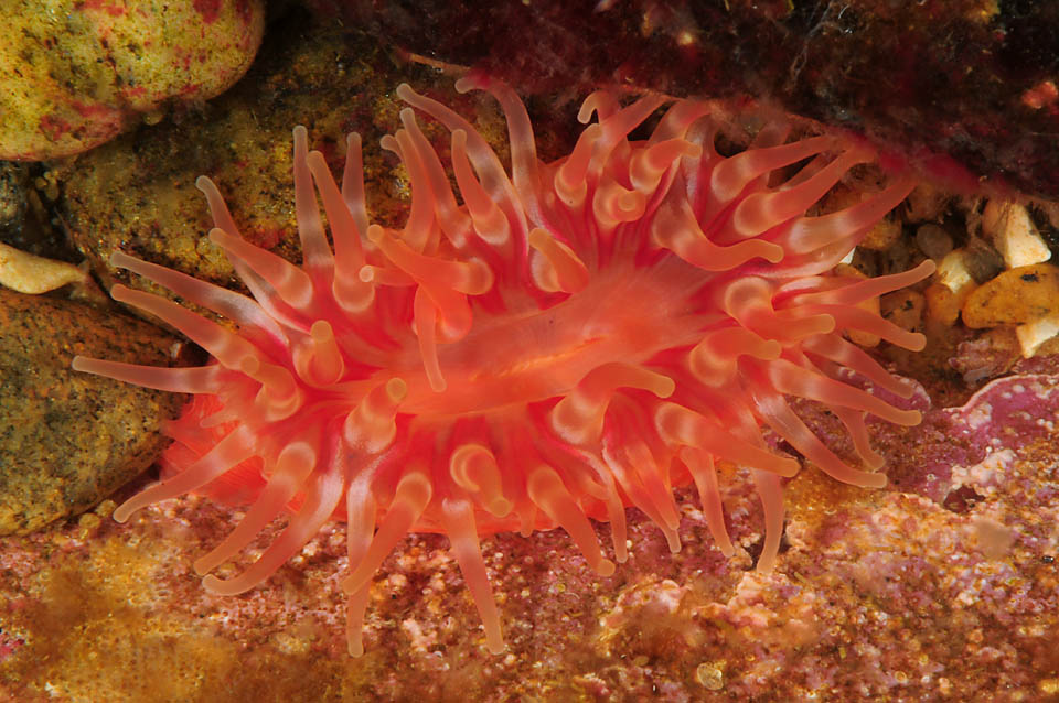 A photo of a red-colored sea anemone photographed in the Baltic Sea. <div class='credit'><strong>Credit:</strong> A photo of a red-colored sea anemone photographed in the Baltic Sea. </div>