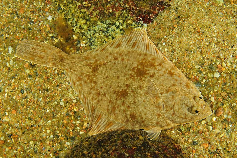 A photo of a European flounder in the Baltic Sea. <div class='credit'><strong>Credit:</strong> A photo of a European flounder in the Baltic Sea. </div>