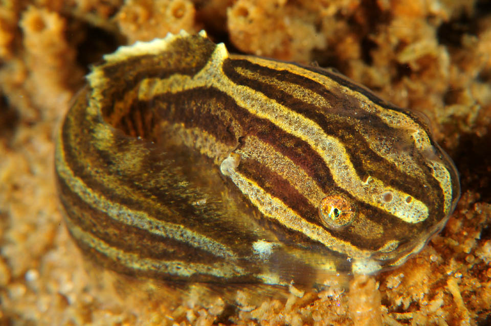 A photo of a juvenile striped sea-snail swimming in the Baltic Sea<div class='credit'><strong>Credit:</strong> A photo of a juvenile striped sea-snail swimming in the Baltic Sea</div>