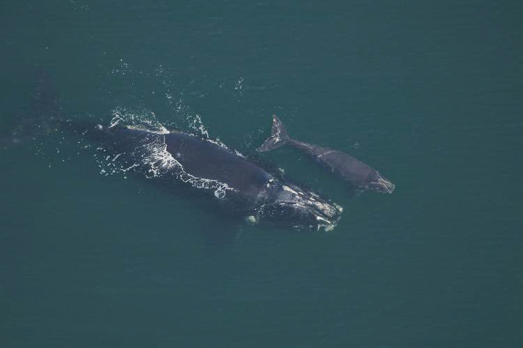 Phoenix swimming with her calf in February 2007 in the Southeast calving grounds off the coasts of Georgia and Florida.<div class='credit'><strong>Credit:</strong> Phoenix swimming with her calf in February 2007 in the Southeast calving grounds off the coasts of Georgia and Florida.</div>