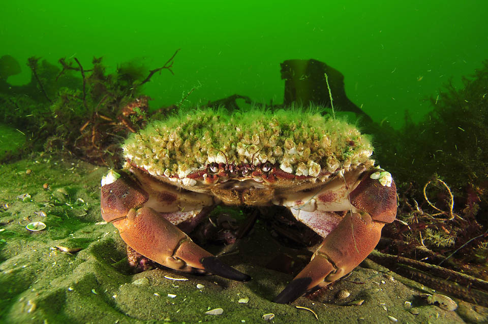 A photo of a crab living in green-colored water and covered with barnacles. <div class='credit'><strong>Credit:</strong> A photo of a crab living in green-colored water and covered with barnacles. </div>