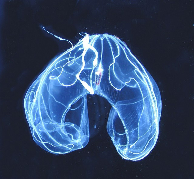 Photograph of a transparent comb jelly against a dark sea.<div class='credit'><strong>Credit:</strong> Photograph of a transparent comb jelly against a dark sea.</div>