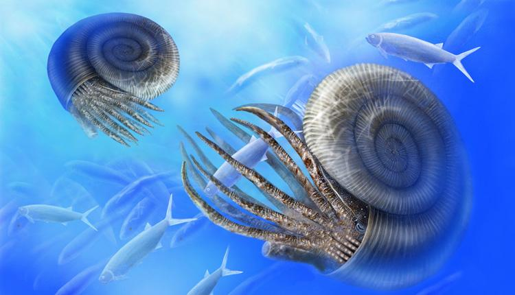 Illustration of two ammonites, with coiled shells and many tentacles.<div class='credit'><strong>Credit:</strong> Illustration of two ammonites, with coiled shells and many tentacles.</div>