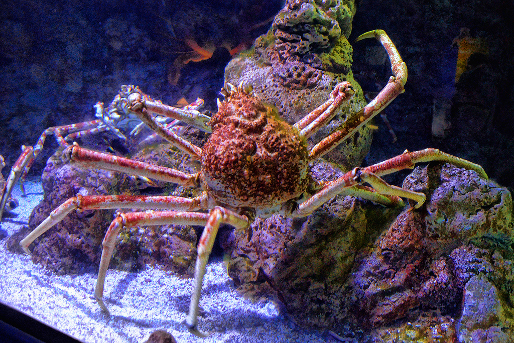 The Japanese spider crab may be big but it is not invincible. <div class='credit'><strong>Credit:</strong> The Japanese spider crab may be big but it is not invincible. </div>