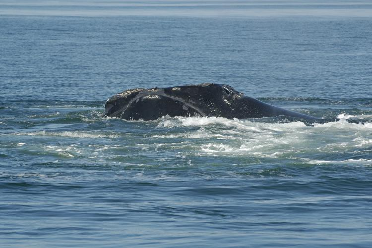 Phoenix was photographed swimming off the coast of Canada in the Bay of Fundy in August 2007.<div class='credit'><strong>Credit:</strong> Phoenix was photographed swimming off the coast of Canada in the Bay of Fundy in August 2007.</div>