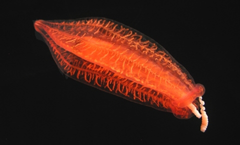 Photograph of a translucent red-orange comb jelly against a black sea.<div class='credit'><strong>Credit:</strong> Photograph of a translucent red-orange comb jelly against a black sea.</div>
