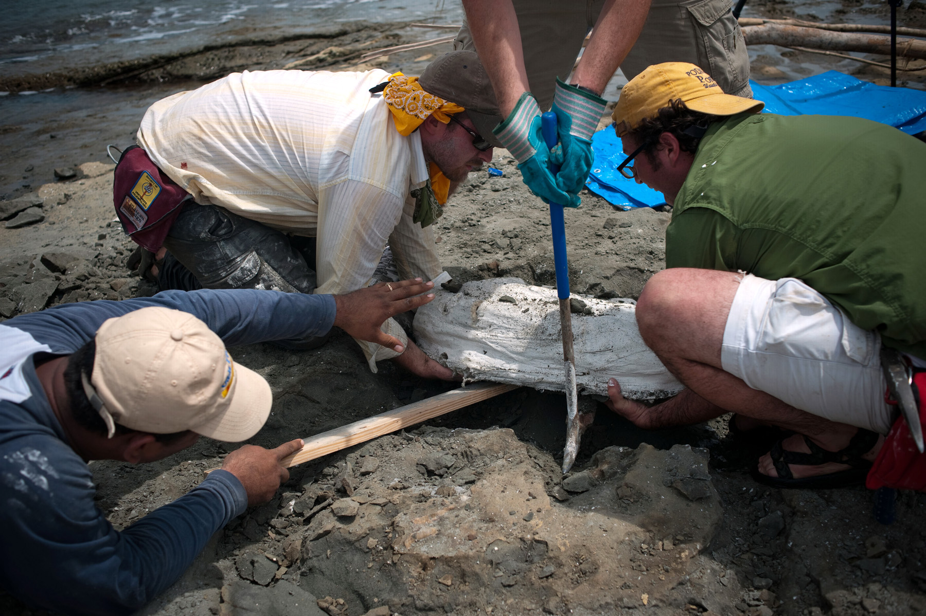 Scientists remove remove the whale fossil plaster jacket from the r<div class='credit'><strong>Credit:</strong> Scientists remove remove the whale fossil plaster jacket from the r</div>