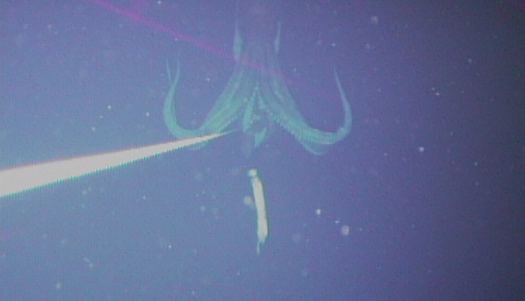 This is the first photograph of a live giant squid (Architeuthis) in its natural habitat.<div class='credit'><strong>Credit:</strong> This is the first photograph of a live giant squid (Architeuthis) in its natural habitat.</div>