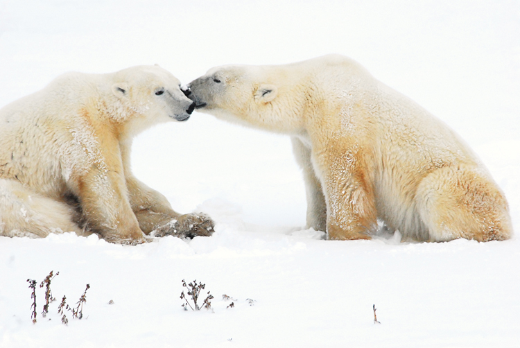 Two polar bears at Cape Churchill in Manitoba, Canada <div class='credit'><strong>Credit:</strong> Two polar bears at Cape Churchill in Manitoba, Canada </div>