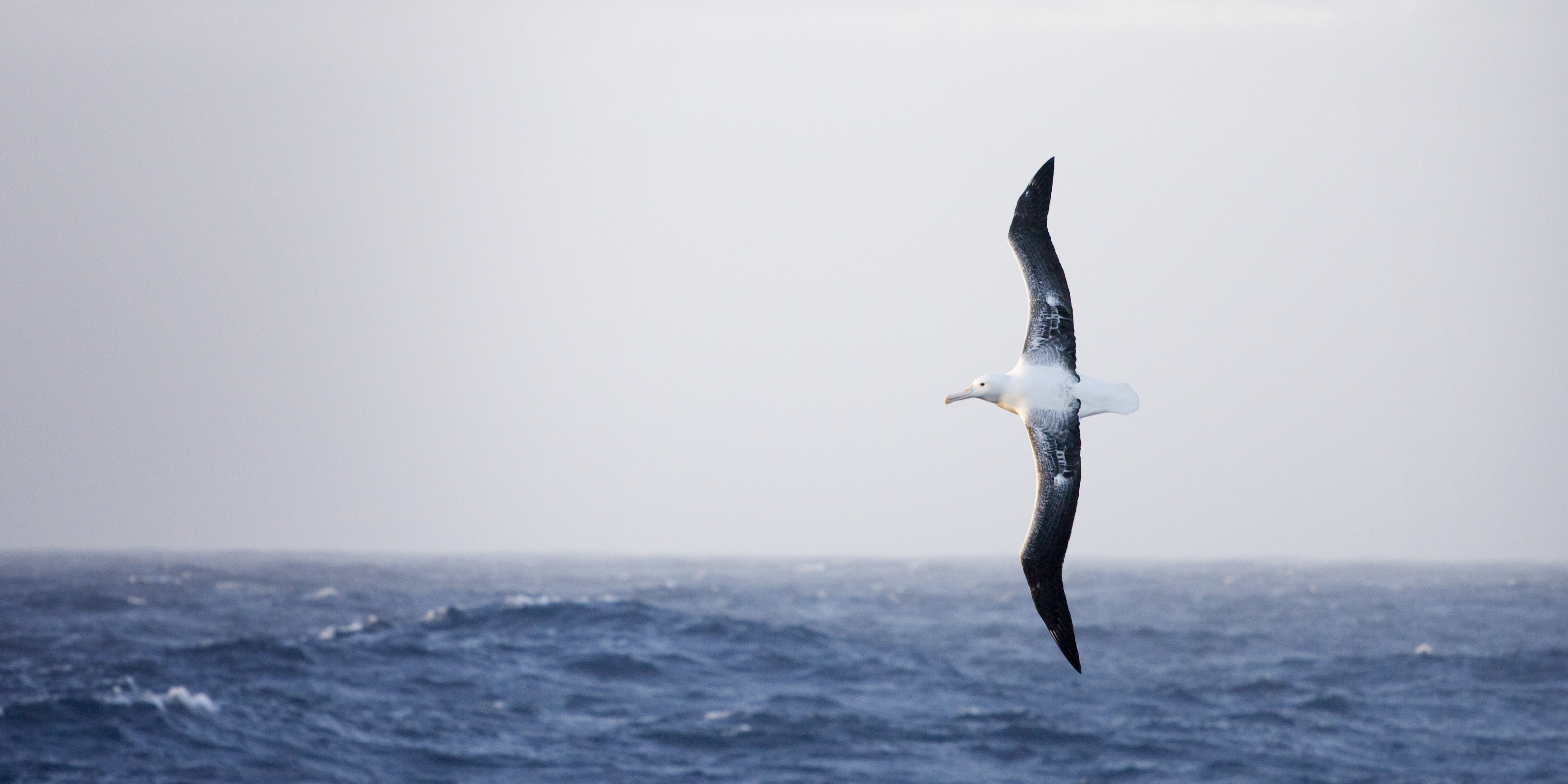 An albatross soaring above the ocean with the blue sky in the horizon. <div class='credit'><strong>Credit:</strong> An albatross soaring above the ocean with the blue sky in the horizon. </div>