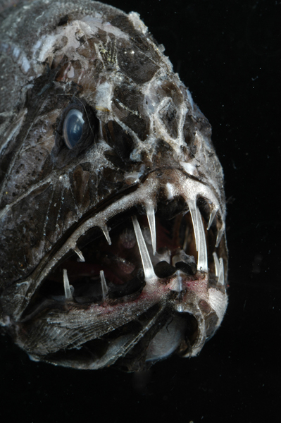This aptly named fish has two long fangs.<div class='credit'><strong>Credit:</strong> This aptly named fish has two long fangs.</div>