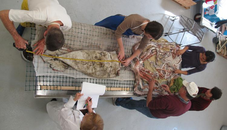 Dr. Clyde Roper and scientists from NOAA and the Delaware Museum of Natural History dissect a giant squid specimen donated by NOAA.<div class='credit'><strong>Credit:</strong> Dr. Clyde Roper and scientists from NOAA and the Delaware Museum of Natural History dissect a giant squid specimen donated by NOAA.</div>