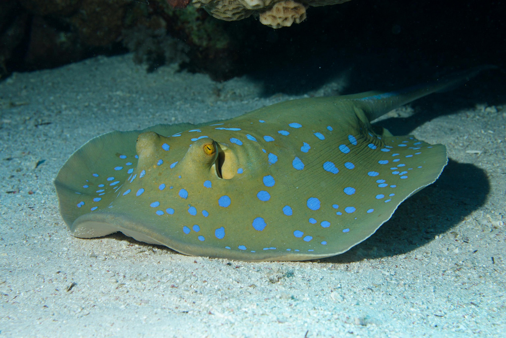 Blue-spotted stingrays use the help of cleaner fish to stay clean and healthy. <div class='credit'><strong>Credit:</strong> Blue-spotted stingrays use the help of cleaner fish to stay clean and healthy. </div>
