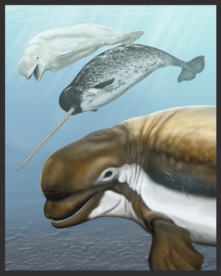 An illustration of a recently discovered species of Monodontid, Bohaskaia monodontoides, and its beluga and narwhale relatives<div class='credit'><strong>Credit:</strong> An illustration of a recently discovered species of Monodontid, Bohaskaia monodontoides, and its beluga and narwhale relatives</div>