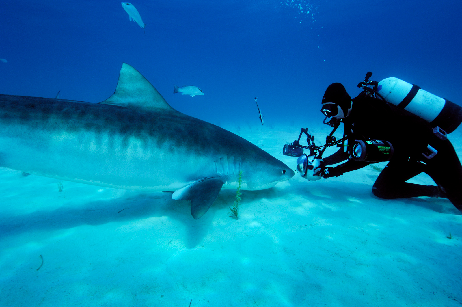 Brian Skerry takes an up close photo of a tiger shark on the seafloor. <div class='credit'><strong>Credit:</strong> Brian Skerry takes an up close photo of a tiger shark on the seafloor. </div>