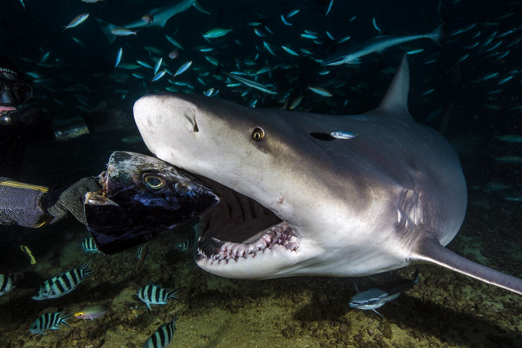 A bull shark's ability to prey on many different species is helped by its capacity to survive in both freshwater and saltwater. <div class='credit'><strong>Credit:</strong> A bull shark's ability to prey on many different species is helped by its capacity to survive in both freshwater and saltwater. </div>