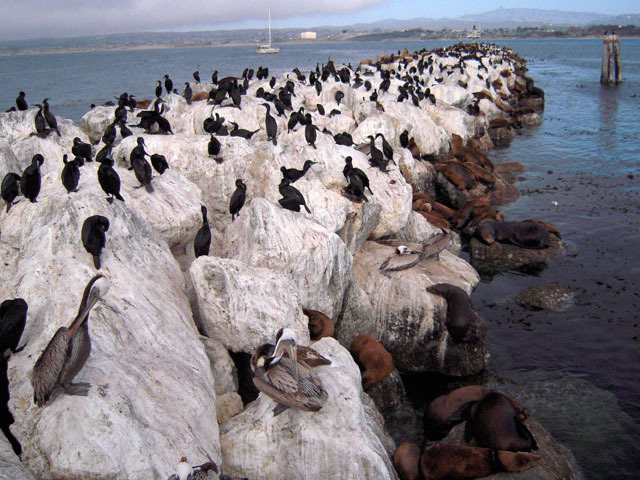 Seals, pelicans and other birds rest in a harbor on a bank of rocks. <div class='credit'><strong>Credit:</strong> Seals, pelicans and other birds rest in a harbor on a bank of rocks. </div>