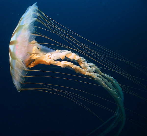 Chrysaora melanaster is a jellyfish found in the Arctic.<div class='credit'><strong>Credit:</strong> Chrysaora melanaster is a jellyfish found in the Arctic.</div>