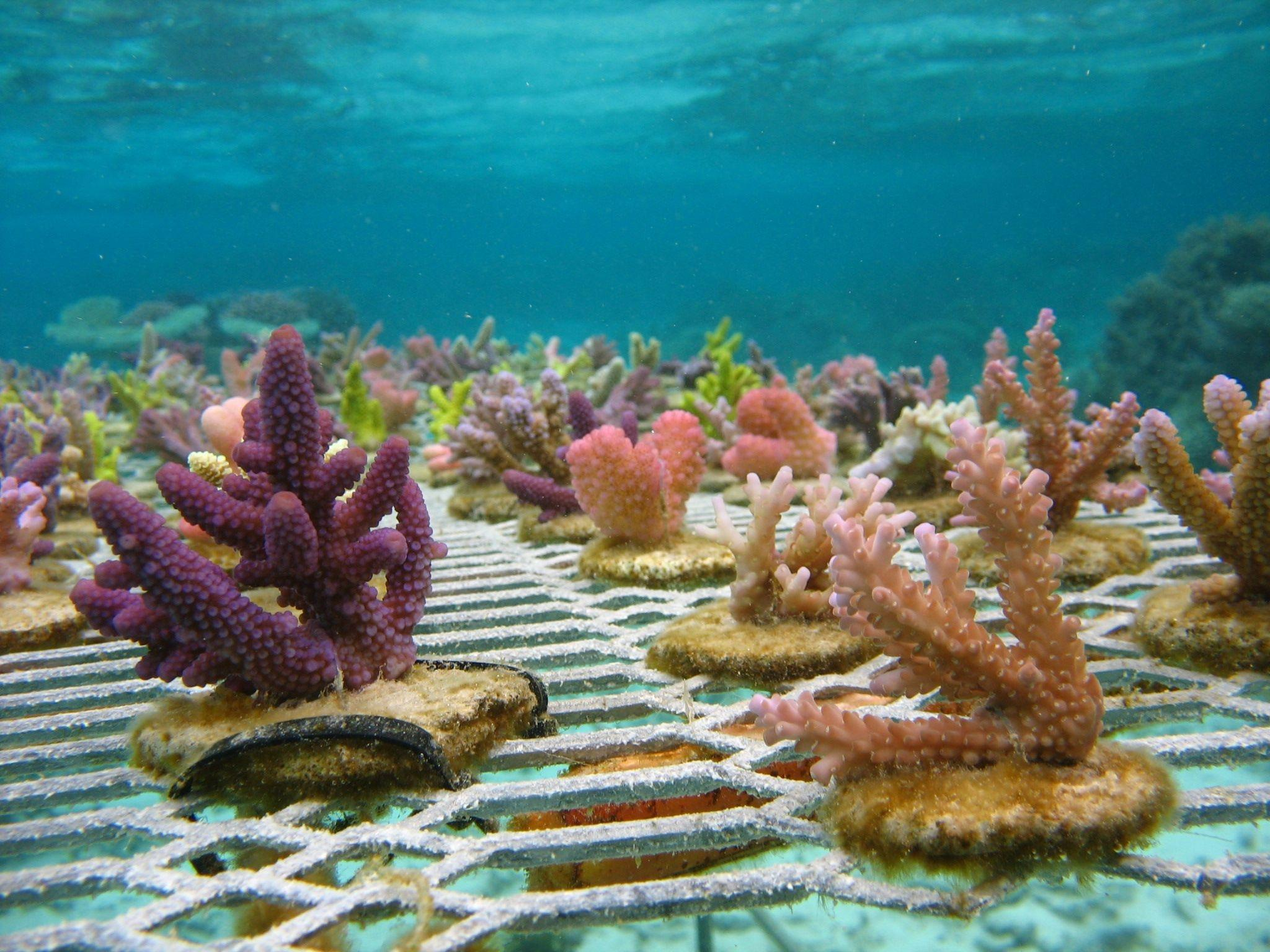 Purple, pink and green corals growing underwater on a metal fence-like substrate. <div class='credit'><strong>Credit:</strong> Purple, pink and green corals growing underwater on a metal fence-like substrate. </div>