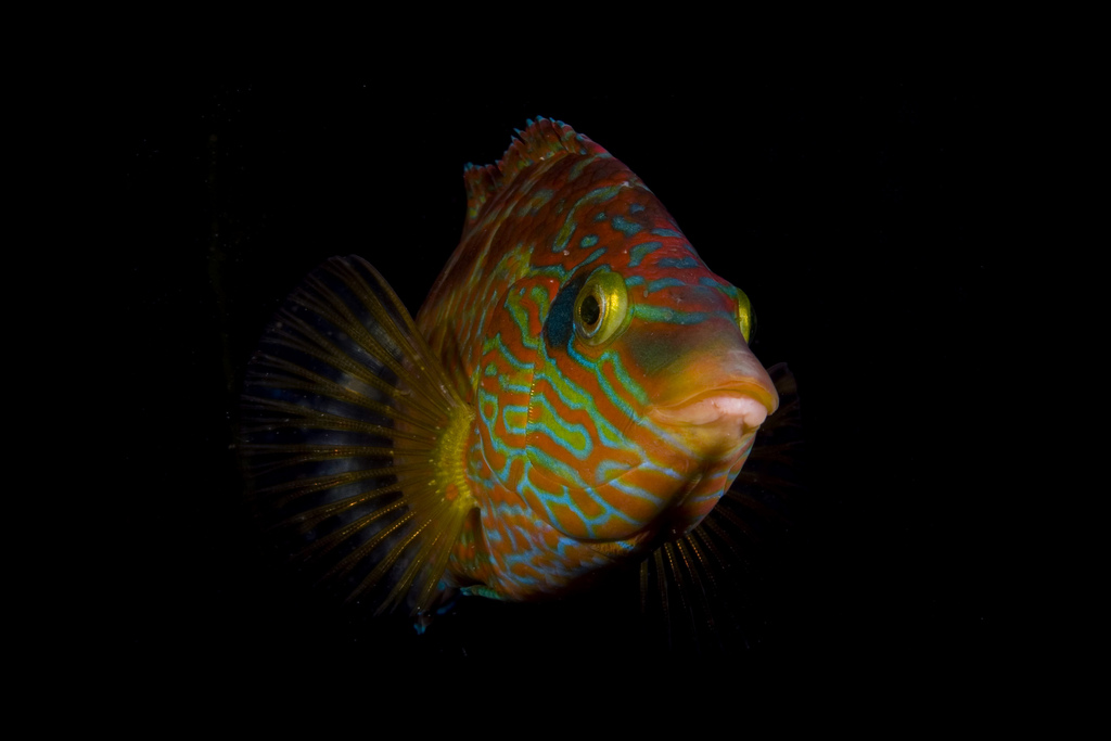 The corkwing wrasse is able to change color for many reasons. <div class='credit'><strong>Credit:</strong> The corkwing wrasse is able to change color for many reasons. </div>