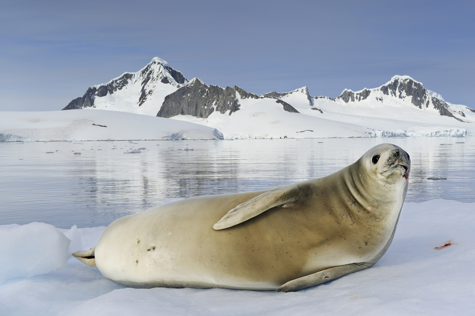 A white crabeater seal resting on an iceberg. <div class='credit'><strong>Credit:</strong> A white crabeater seal resting on an iceberg. </div>