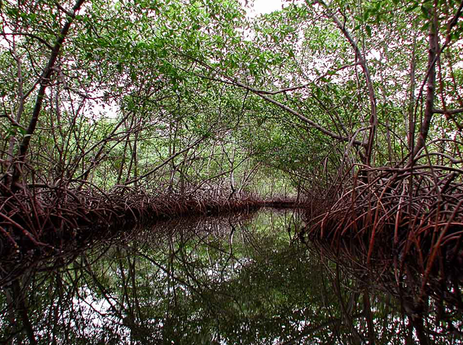 A thick stand of mangroves with tangled roots lines an island creek in Panama.<div class='credit'><strong>Credit:</strong> A thick stand of mangroves with tangled roots lines an island creek in Panama.</div>
