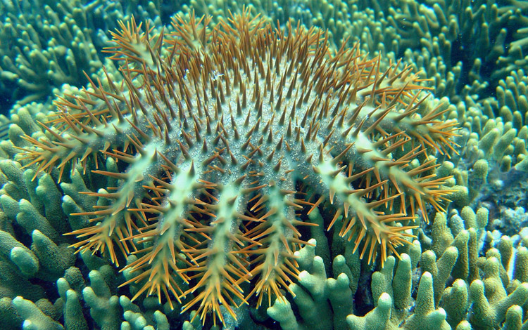 Crown of Thorns Starfish in the Marianas Islands<div class='credit'><strong>Credit:</strong> Crown of Thorns Starfish in the Marianas Islands</div>