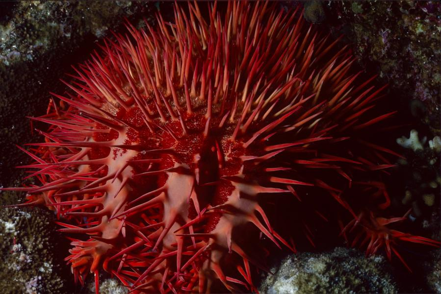 A red crown of thorns sea star. <div class='credit'><strong>Credit:</strong> A red crown of thorns sea star. </div>